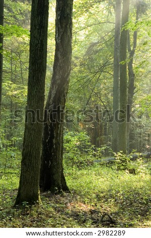 Sunny summer morning in old forest - stock photo