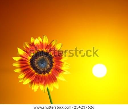 Sunny Sunflower - stock photo