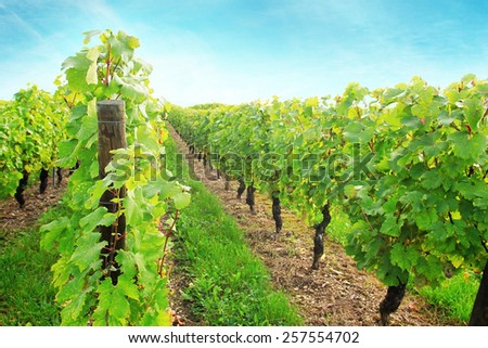 Sunny vineyard with ripe grape in France field - stock photo