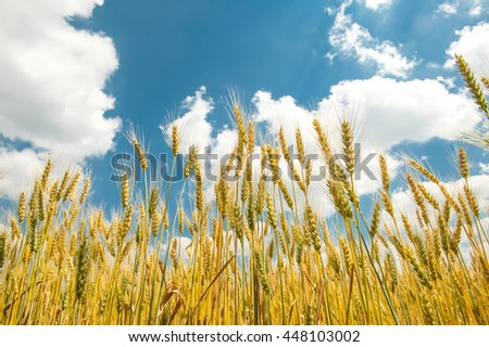 sunny wheat field. Summer Landscape with Wheat Field and Clouds.  Yellow grain ready for harvest growing in a farm field