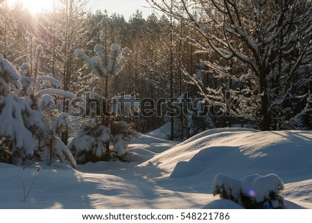 Sunny winter day. Trees in snow. Sunny winter landscape. Frosty air.