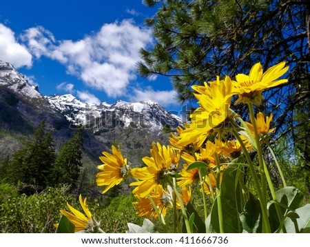 Sunny Yellow Flowers and Snow Capped Mountains.  Fourth of July Trail near Leavenworth and Seattle, Washington state, USA.  - stock photo