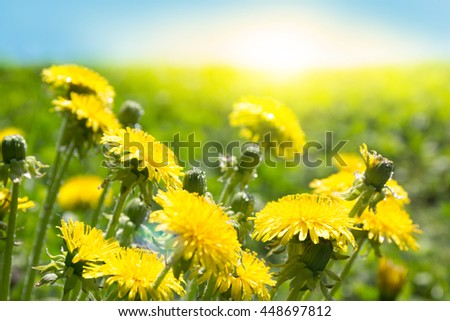 Sunrise and yellow dandelion flowers