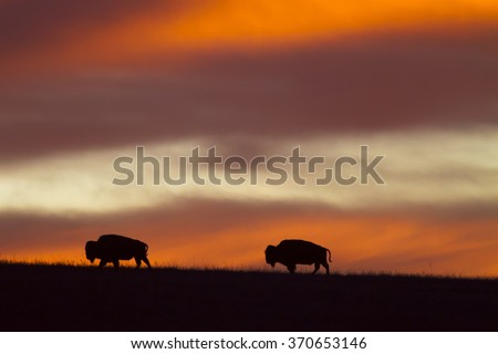 sunrise at Maxwell Wildlife Preserve in Kansas; two American Bison on the horizon