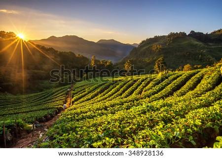 Sunrise at strawberry field at doi angkang , chiang mai , Thailand. - stock photo