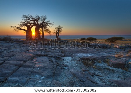 Sunrise at the Baobabs - stock photo