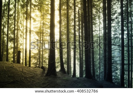 sunrise in pine tree forest with colorful light