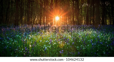 Sunrise in the bluebell wood - stock photo