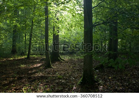 Sunrise light of morning crossing misty deciduous young stand with old linden tree in foreground with oak tree in background,Bialowieza Forest,Poland,Europe - stock photo