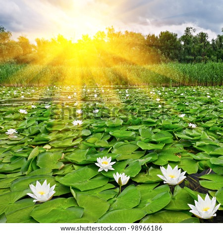 Sunrise over a spring lake with a white lilies - stock photo