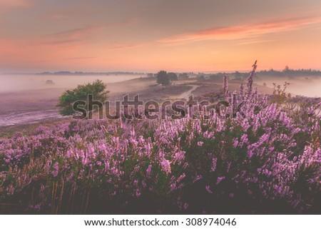 Sunrise over Dutch heath landscape with flowering heather, Netherlands - stock photo