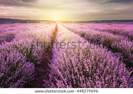 Sunrise over lavender fields in Bulgaria - stock photo