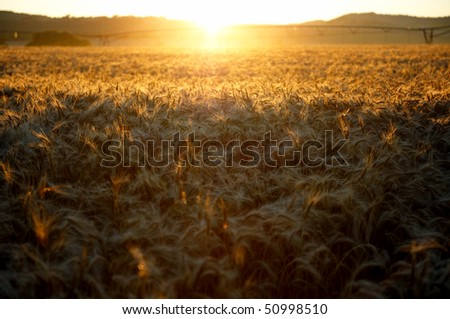 Sunrise over the wheat fields