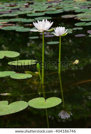 Sunrise water lily in smooth water surface, reflection and shadow by sunlight.