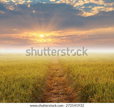 sunrise with fog over the yellow rice field with dew drop. Chiang mai, Thailand - stock photo