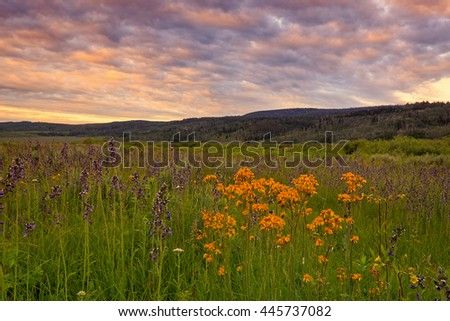 Sunrise with wildflowers in a mountain meadow, Utah, USA. - stock photo
