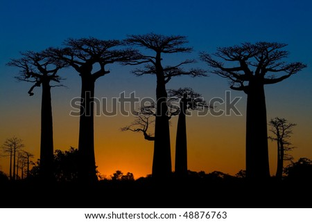 Sunset and baobabs trees in Madagascar - stock photo