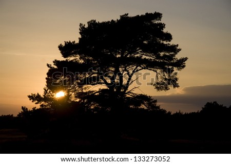 Sunset and Scots pine on the Veluwe, Netherlands - stock photo