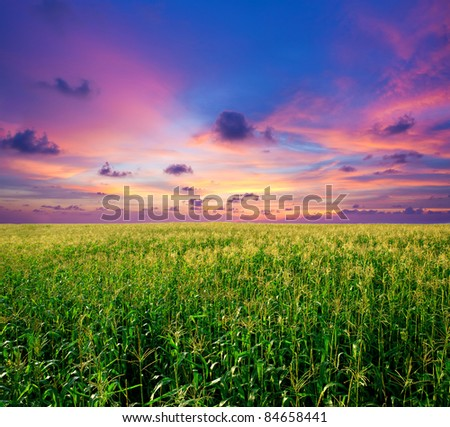 sunset at the corn field - stock photo