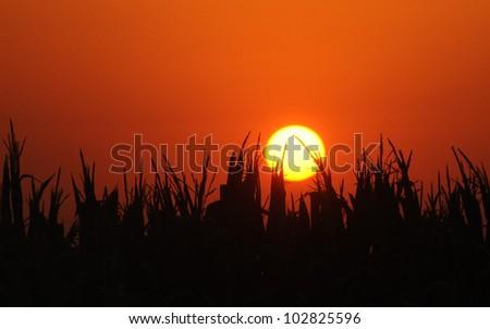 Sunset behind cornfield - stock photo