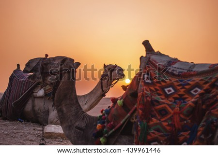 Sunset desert sun. Two camels seat on the background of sunset in the distant hot desert. Desert trip - stock photo