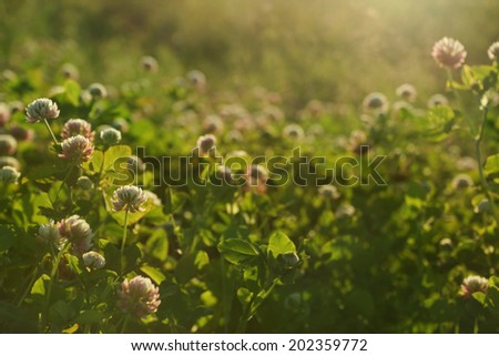 sunset field shallow DOF background - sunny meadow with clover flowers - stock photo