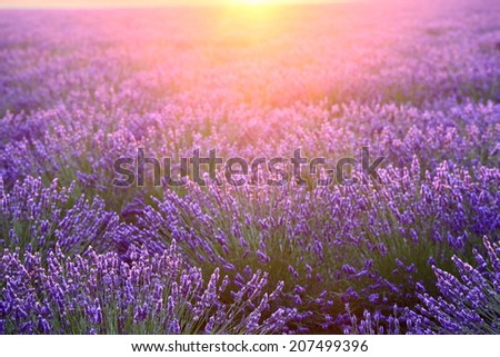 sunset flare and lavenders - stock photo