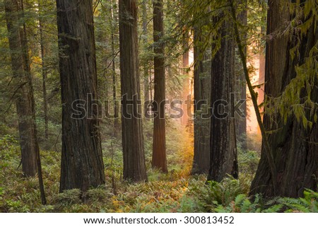 Sunset in a California redwood forest with mystical or religious overtones.   - stock photo