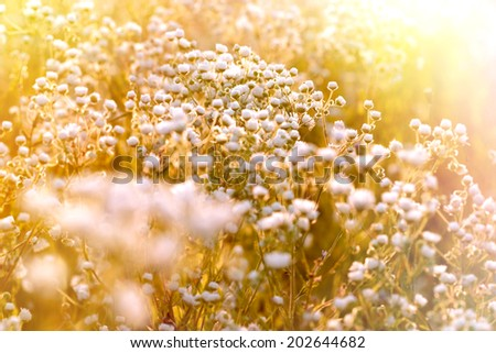 Sunset in a field of flowers - daisy - stock photo