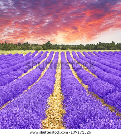 Sunset in a lavender field - stock photo