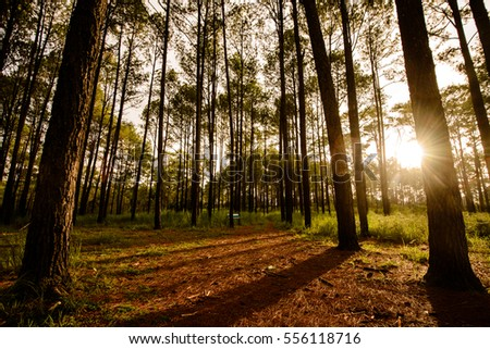 Sunset in a pine forest in northern Thailand