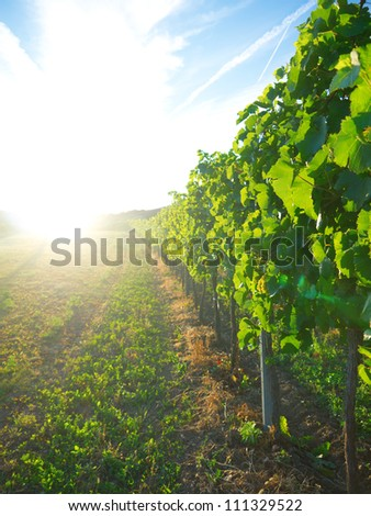 Sunset in a vineyard - stock photo