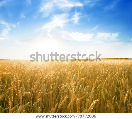 sunset in a wheat - stock photo