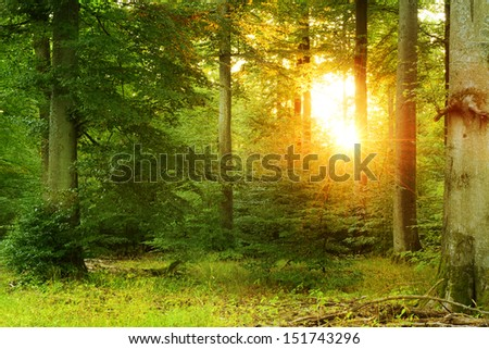 Sunset in Forest of Old Beech Trees  - stock photo