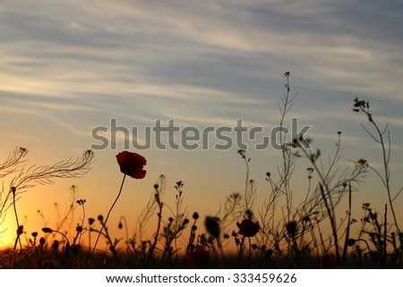 Sunset in poppy field - stock photo