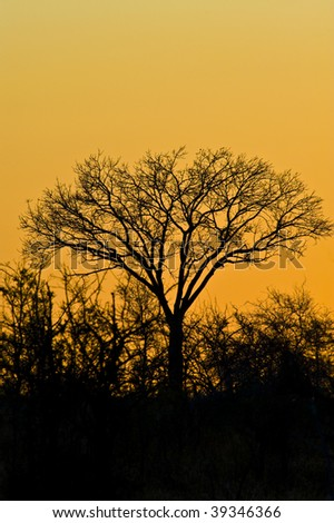 Sunset in the Kruger National Park, showing bright orange skies with silhouettes of the foliage.