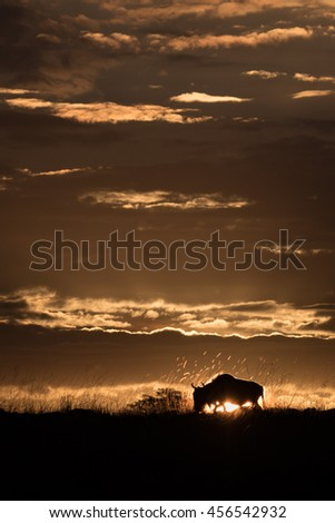 Sunset in the Masai Mara with a buffalo in silhouette.
