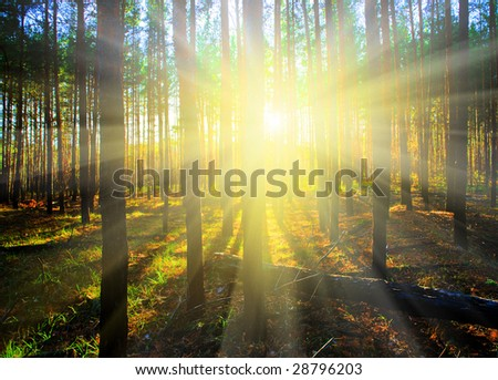 Sunset in the Scotch fir forest, autumn - stock photo