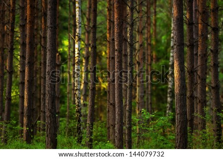 Sunset in the woods with young trees of pine and birch - stock photo