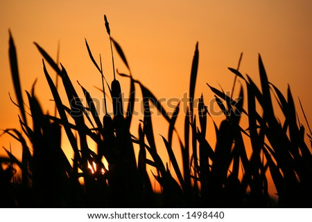 Sunset in vegetation silhouette - stock photo