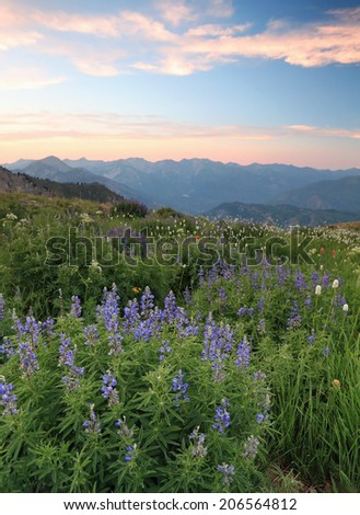 Sunset landscape with lupine wildflowers in the Wasatch Mountains, Utah, USA. - stock photo