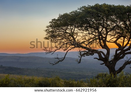 Sunset landscape with marula tree on safari at Hluhluwe-iMfolozi National Park, in South Africa, KwaZulu-Natal province