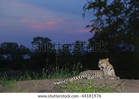 sunset leopard - stock photo