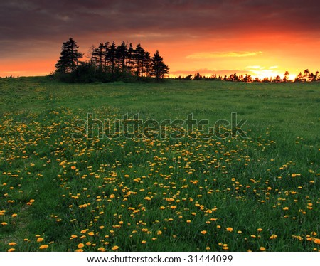 Sunset over a Dandelion Filed - stock photo