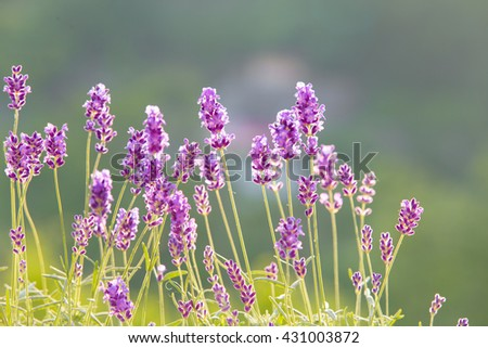 Sunset over a violet. Sunset over a violet lavender field in Provence, France. Lavandula flowers over green grass field. Provence landscape closeup. - stock photo