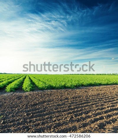 sunset over agricultural field with green bush of tomatoes