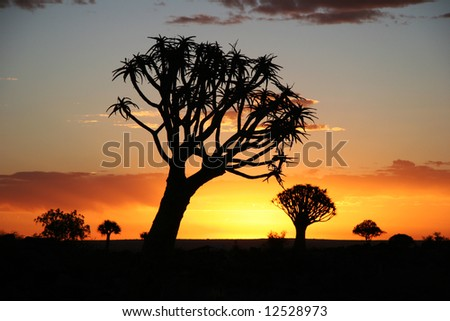 Sunset over Desert landscape with silhouettes of a quiver tree (Aloe dichotoma). South Namibia. Namibia - stock photo