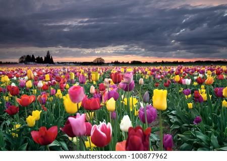 Sunset Over Farm Field of Colorful Tulip Flowers Blooming in Oregon in Springtime - stock photo