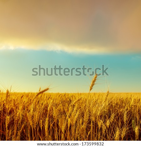 sunset over field with golden harvest. soft focus - stock photo