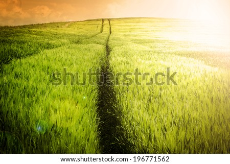 Sunset over Spring barley field with vehicle traces - Farmland Landscape - Stock Image - stock photo